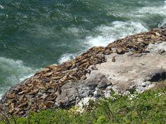 Sea Lions, Depot Bay Depoe Bay Oregon, Northwest Usa, Sea Lions, University Of Oregon, Oregon Coast, Most Visited, Vacation Ideas, Us Travel, Ducks