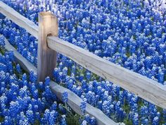 Bluebonnets Along Fenceline Photographic Print by Terry Eggers at AllPosters.com