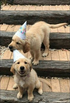 Funny Happy Birthday Animals Fun Ideas For 2019 Cute Puppies, Cute Dogs, Dogs And Puppies, Cute Babies, Doggies, Cute Funny Animals, Cute Baby Animals, Animals And Pets, Happy Birthday Animals