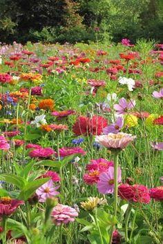 Zinnias, cosmos and malope garden mix