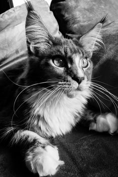 A Zwollywood Cat Maine Coon, Diesel, December, Cats, Animals, Diesel Fuel, Gatos, Animales, Kitty Cats