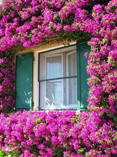 Bougainvillea framing a window.