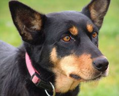 Is the Australian Kelpie right for you? Australian Dog Breeds, Australian Bulldog, Pet Dogs, Dogs And Puppies, Doggies, Aussie Dogs, Farm Dogs, Real Dog, Dog List