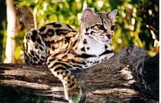 margay Rare Cats, Exotic Cats, Most Beautiful Cat Breeds, Beautiful Cats, Big House Cats, Big Cats, Wild Cat Species, Domestic Cat Breeds, Tonkinese Cat
