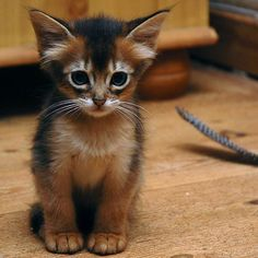 Cute or not? Somali kitten