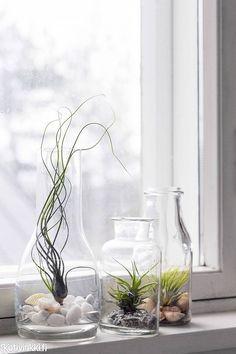 Ilmakasvit – kauneimmat lajikkeet ja hoitovinkit | Kotivinkki