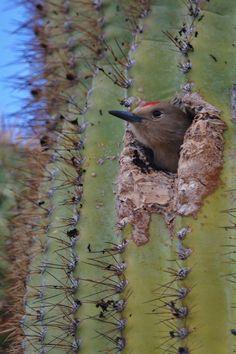Gila Woodpecker peeking out from it's home in a Saguaro cactus. Pretty Birds, Love Birds, Beautiful Birds, Animals And Pets, Cute Animals, Desert Animals, Photo Animaliere, Animal Antics, Paludarium