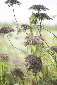 Chocolate Queen Anne's Lace by Georgianna Lane