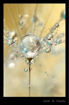 Dew drops on Dandelions. Macro photography by Sharon Johnston