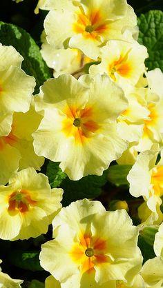 primrose_flowers_herbs_flowerbed_sunny_