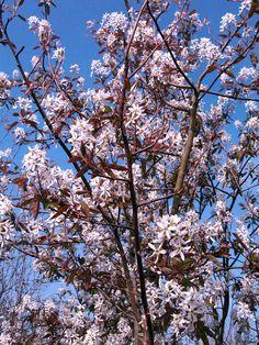 Amelanchier Robin Hill - AMELANCHIER GRANDIFLORA ROBIN HILL « Chew Valley Trees