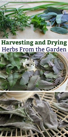 Harvesting and Drying Herbs, Drying Herbs, Growing Herbs, Dehydrating Herbs, Herbs, Fresh Herbs