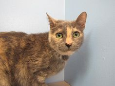This lovely lady is Cammie. She is waiting for her forever home where she can get lots of pampering. She is very sweet and loves attention. She is a bit nervous in new situations and would do best with older cat savvy children. She is in need of a warm lap to snuggle on. Is it yours?