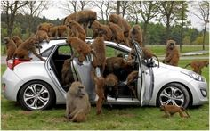 Invasion of  monkeys - theft of a car.