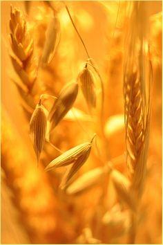 "Honey, sun, cereals Photo Сергей "" and gold """