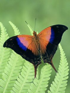 Ioles Daggerwing Butterfly (Marpesia Iole), Family Nymphalidae, Costa Rica
