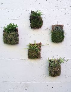 A fleet of five Jungle Cactus Cork Mounts. Rhipsalis species make great candidates for mounting, because, as epiphytes, they require little root space.  http://shop.pistilsnursery.com/products/jungle-cactus-cork-mount