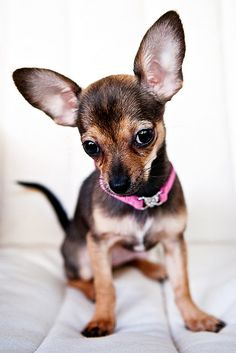 Our chihuahua puppy Penny. #chihuahua