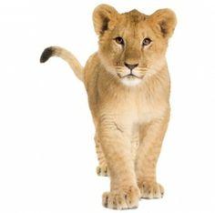 Muursticker Leeuw