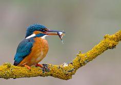 kingfisher (female) by Mark Hughes, via 500px