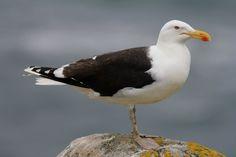 Great Black-backed Gull ( L: Larus marinus / N: Svartbak).