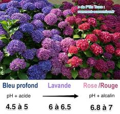 Flower Gardening Design How do you change the color of hydrangea flowers to go blue or to go pink? - How do you change the color of hydrangea flowers to go blue or to go pink? Pruning Hydrangeas, Growing Hydrangeas, Flower Garden, Flowers, Hydrangea Macrophylla, Hydrangea Colors, Plants, Gardening Tips, Old Farmers Almanac