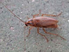 8 Natural Ways to Rid Your Home of Roaches for Good, check it out at http://survivallife.com/8-natural-ways-to-rid-your-home-of-roaches/