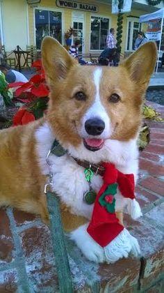 the daily corgi the twelve days of corgi christmas photos rolls on christmas - Christmas Corgi