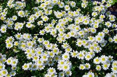 bulb cover - Bellium minutum Miniature Daisy