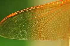 Dragonfly Wing by Nathan Goddard