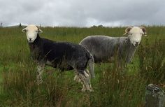 Herdwicks near Troutbeck. Lake District, Places To Visit, Animals, Animaux, Animal, Animales, Places Worth Visiting, Animais