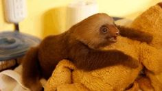 """""""Tender shoots, tender shoots, tender shoots are for meeee!""""   The 27 Happiest Sloths In The World"""