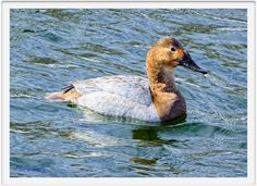 Canvasback Female Swimming Irondequoit Bay Outlet 15-03-13