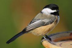 Chickadee  by snooker2009, via Flickr