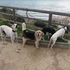 #Paseo con #Lia #Yuna #Max #Robin 03/18 🐶  * * #Peludos #Disfrutar #enjoying #enjoy #disfrutamos #Disfrutandoeldía #DisfrutandoAndo #Fotos #fotografia #photography #Foto #Photo #Mascotas #Mascottes #Pets #Mascot #Dogs #Shaggy #Furry #Hairy #Ilovedog #Dog #Gatos #Cats #gato #Ilovecats #Noalabandono #adoptanocompres #RincóndelaVictoria