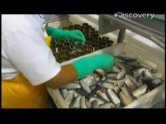 Discovery Channel - Segredo das coisas - Sardinha em lata