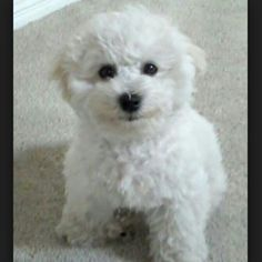 Smiling Bichon pup. ( Who says they don't smile?)