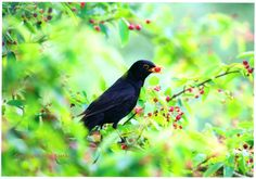 Blackbird, c. Taken in Jake Eastham's back garden. It forms part of the new collection at the Wiltshire & Swindon History Centre as part of the Creative Wiltshire project. Museum Art Gallery, Blackbird, Back Gardens, Country Life, Centre, History, Creative, Collection, Historia