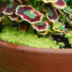 Sedum japonicum 'Tokyo Sun' - Succulents - Avant Gardens Nursery & Design