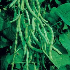 Bean Kentucky Wonder in The Big Seed Book from Park Seed on shop.CatalogSpree.com, my personal digital mall.