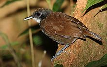 Bicolored antbird - Gymnopithys leucaspis