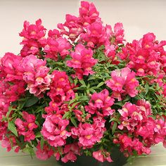 Candy Showers Snapdragon