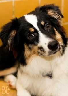 "8 Month Old Rescued Australian Shepherd... My first owner dropped me off at an animal shelter when I was 5 months old, broken and scared, just  cause they said I was ""too shy""... Well, what do you think, do I look shy NOW? I got rescued and my new family loves me exactly the way I am."