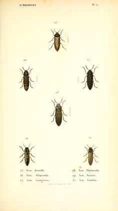 insects-14190 - 023-acmoeodera [2505x4464] - 1800s books clipart old paintings 1900s domain flower pages century decoration high wall 300 dpi lithographs pack 18th flora craft royalty Paper engravings illustration public transfer printable collection plants instant 1700s nice qulity download botanical floral Victorian 17th Artscult commercial ornaments Edwardian naturalist free use blooming masterpiece Pictorial ArtsCult collage digital fabric beautiful art ArtsCult.com scrapbooking botany…