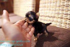 @tammyblair280 Now that's a tiny Yorkie!!