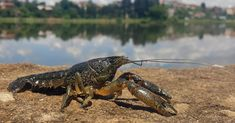 Every marbled crayfish is a female clone. The population is exploding in Europe, but the species seems to have originated in the American Southeast.