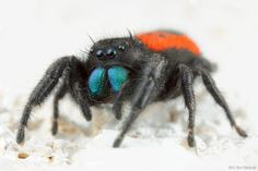 Spiders And Snakes, Jumping Spider, Beautiful Creatures, Creepy, Insects, Beautiful Women, Jumpers, Awesome, Amazing