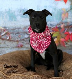 02/12/14 QUEENIE  Pit Bull Terrier Mix • Adult • Female • Small  Montgomery County Animal Shelter Conroe, TX
