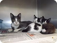 Adopted ✨❤️Thomaston, GA - Brilliant name for Mom & 2 kittens at high-kill shelter---3rd and Goal. 63% of impounds there are killed. http://www.adoptapet.com/pet/13625143-thomaston-georgia-cat