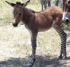 Word for the day:  zedonk  Cross between a zebra and a donkey.  Cute little girl.  What will they think of next?